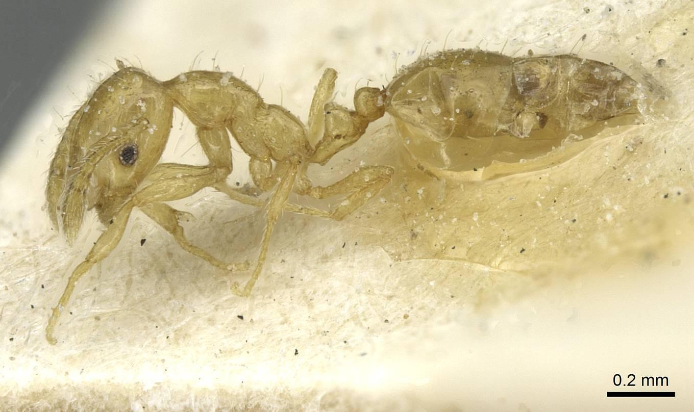 Image of Monomorium speluncarum