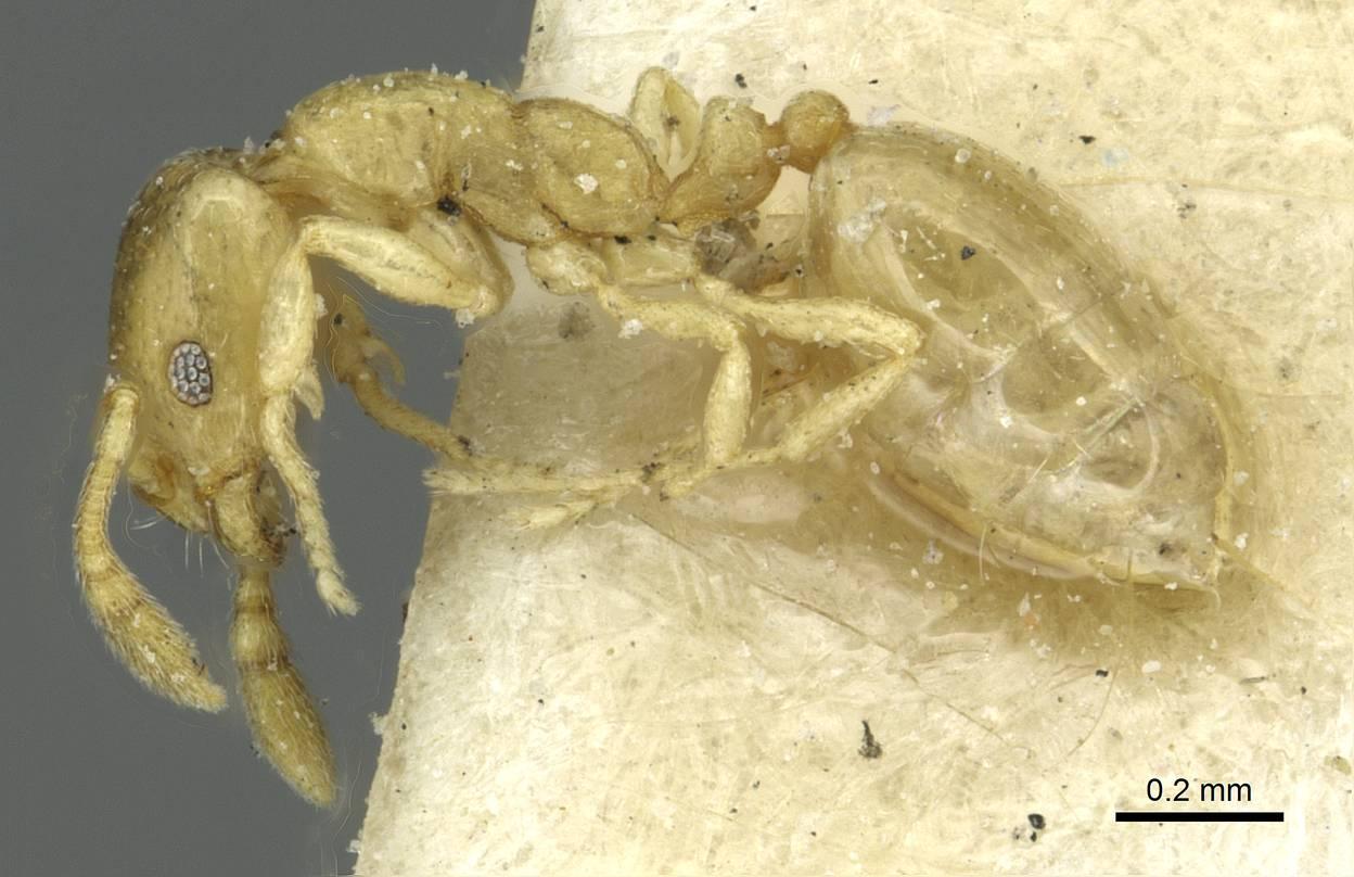 Image of Monomorium zulu