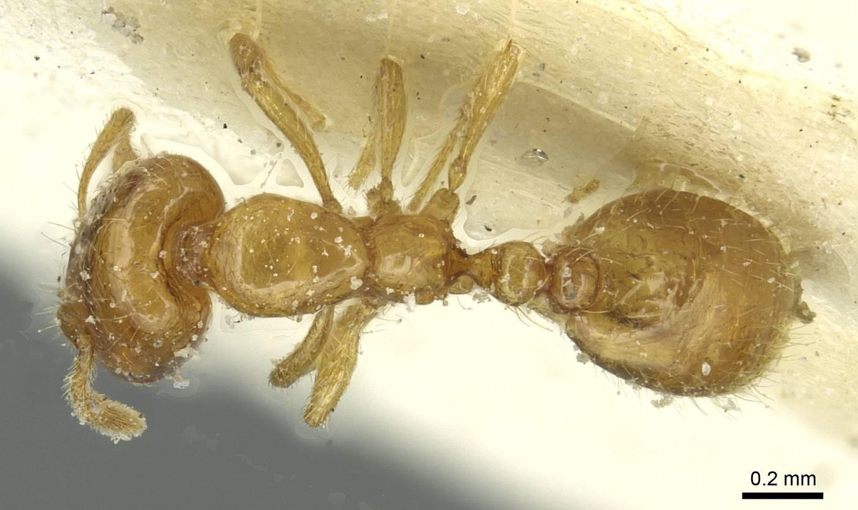 Image of Solenopsis atlantis