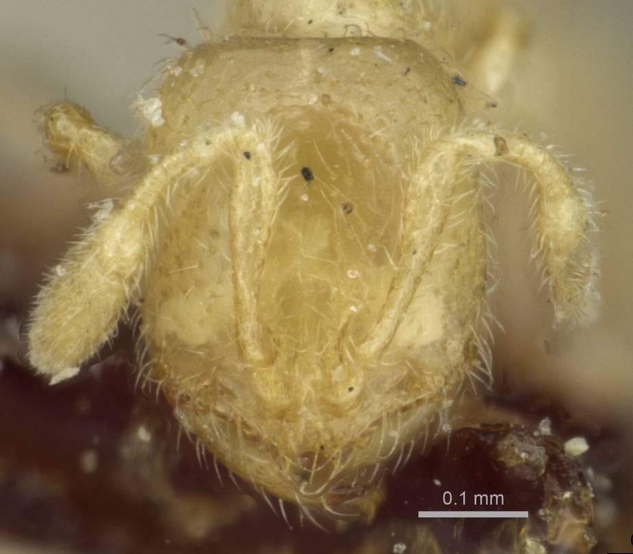 Image of Solenopsis minutissima