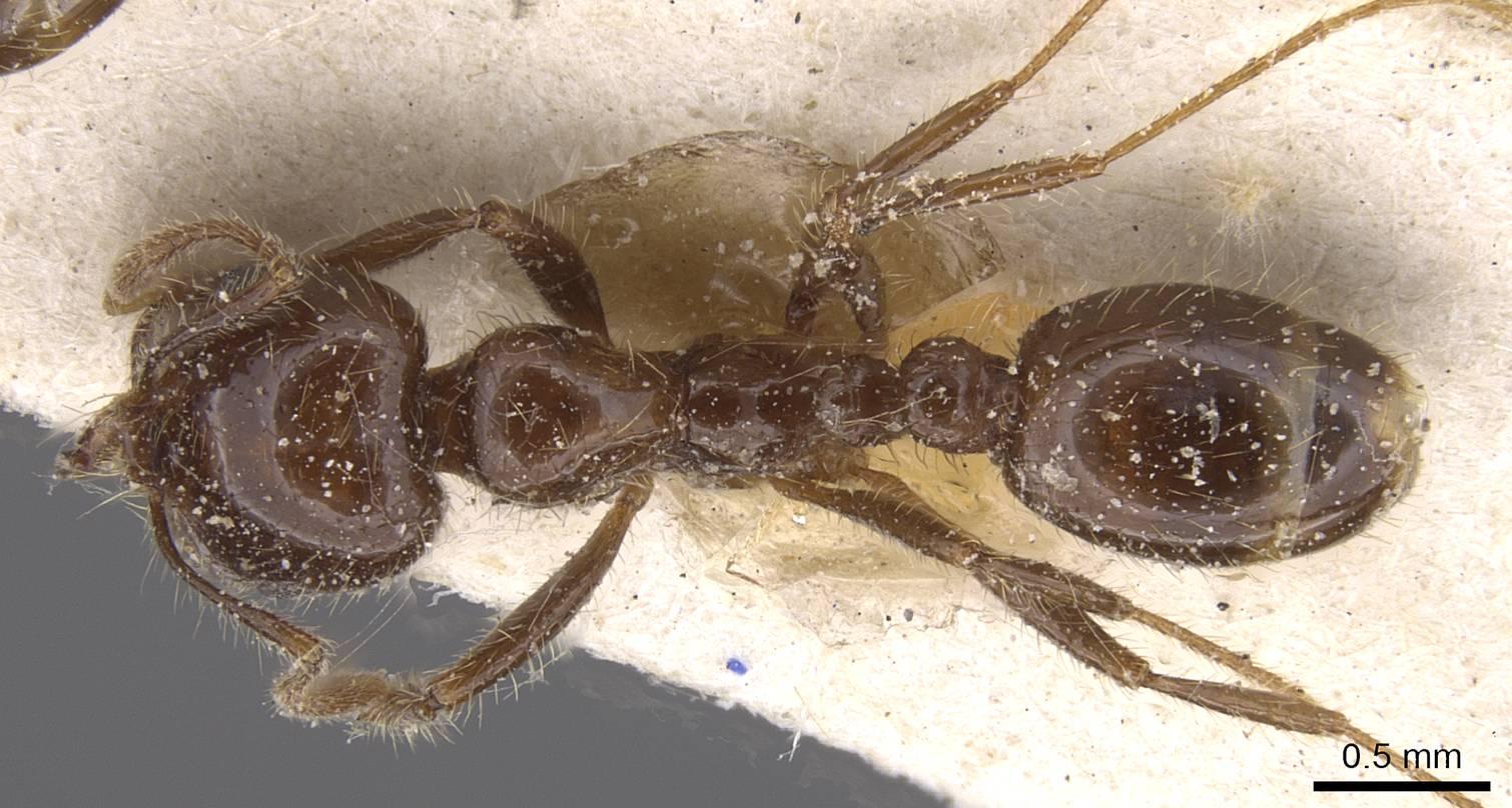 Image of Solenopsis gayi