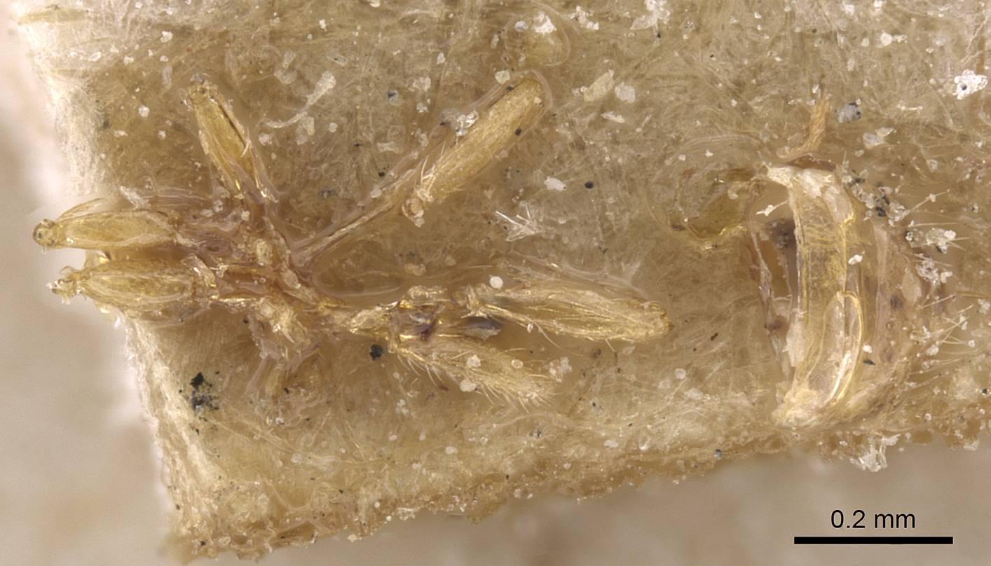 Image of Solenopsis maligna