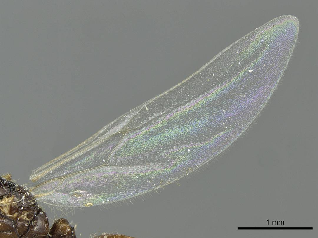 Image of Solenopsis vorax