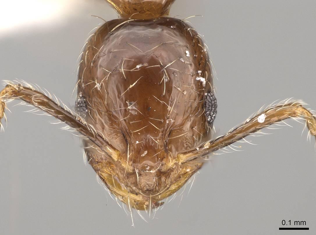 Image of Monomorium kineti