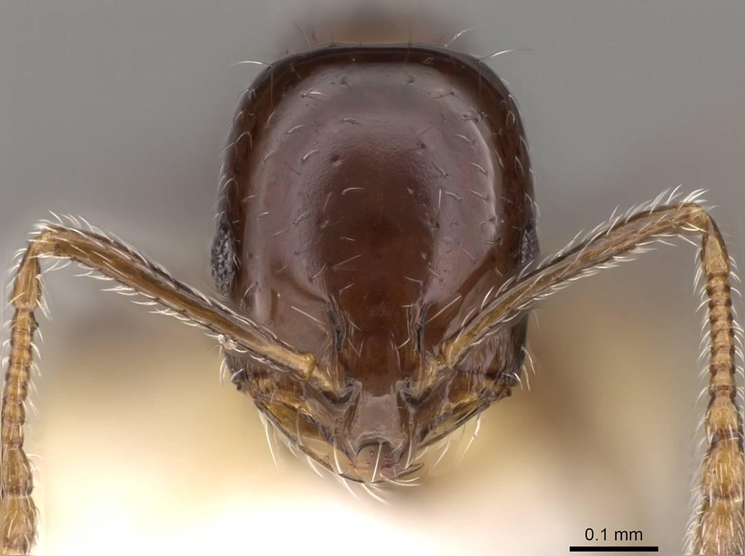 Image of Monomorium compressum