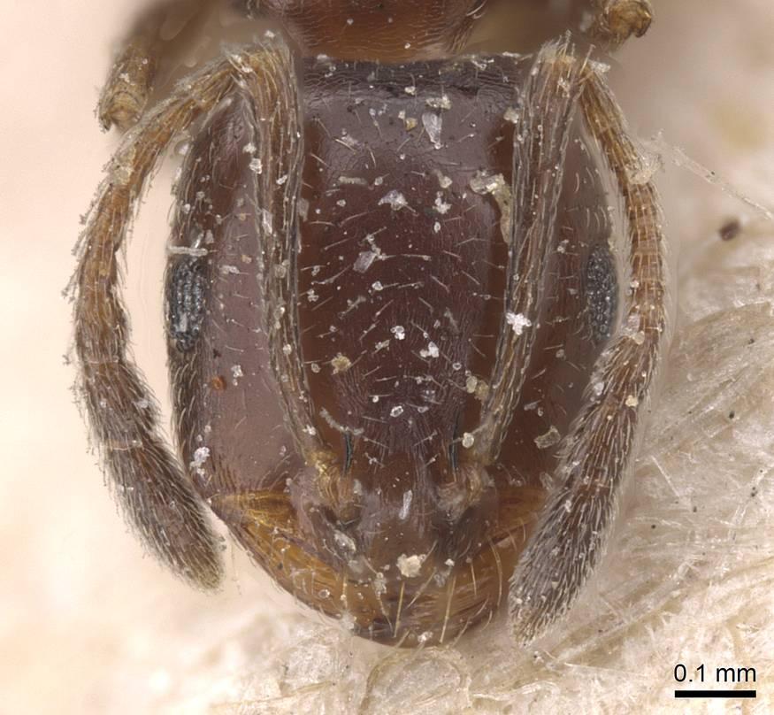 Image of Monomorium abeillei