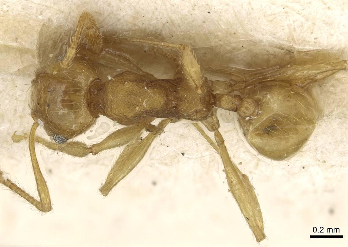 Image of Pheidole flavida