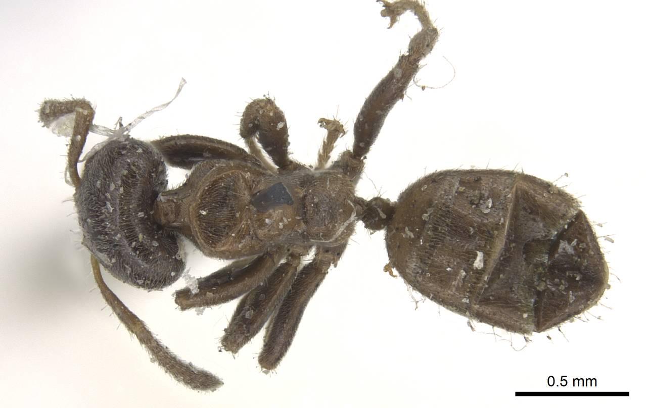 Image of Azteca brevicornis