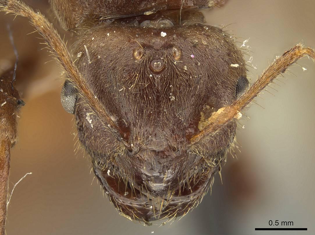 Brachymyrmex pilipes image