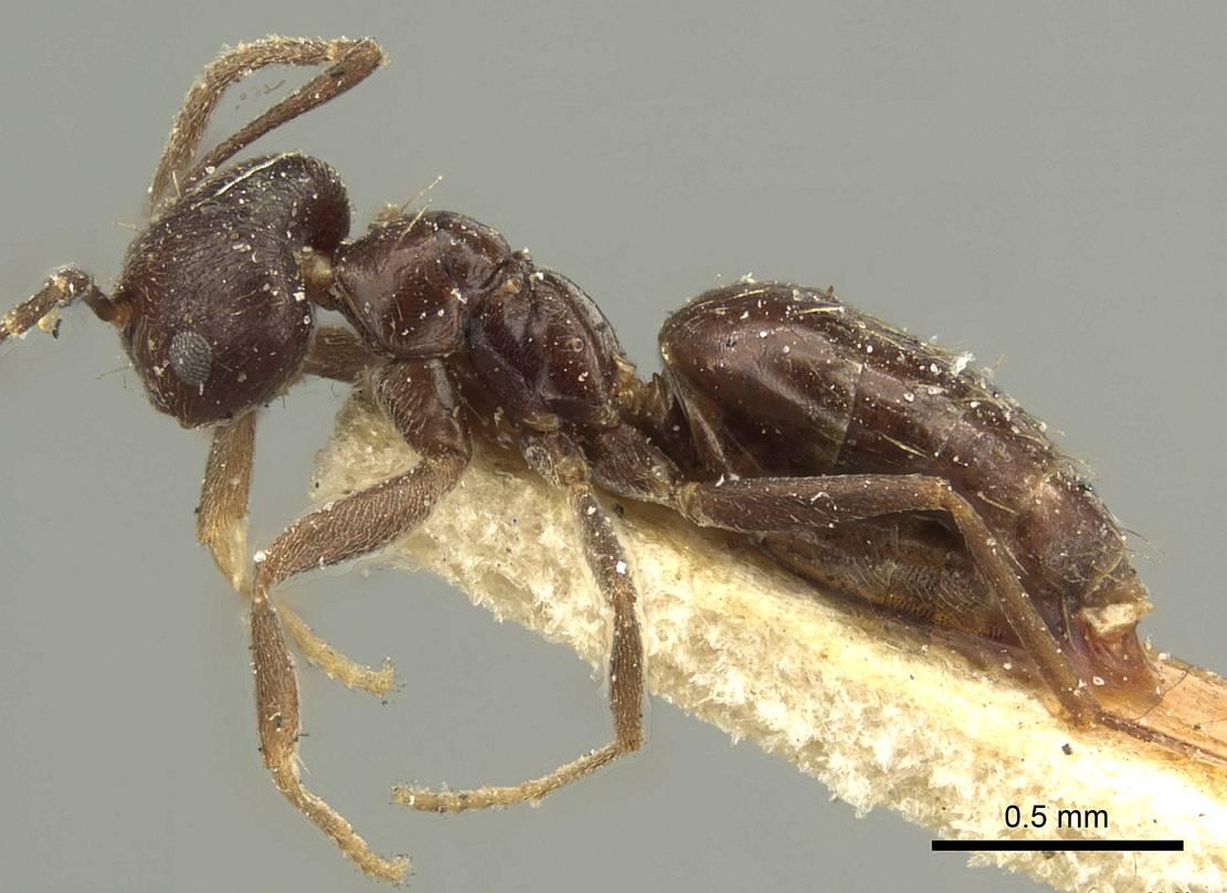 Image of Brachymyrmex tristis