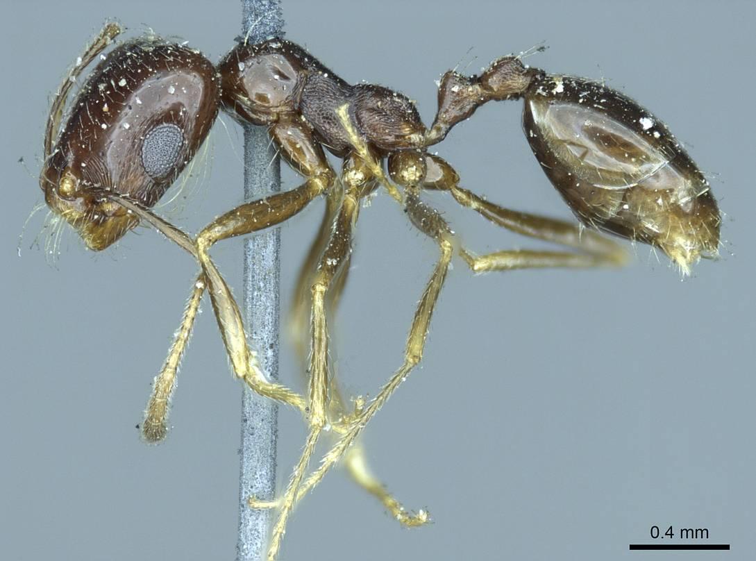 Image of Monomorium barbatulum