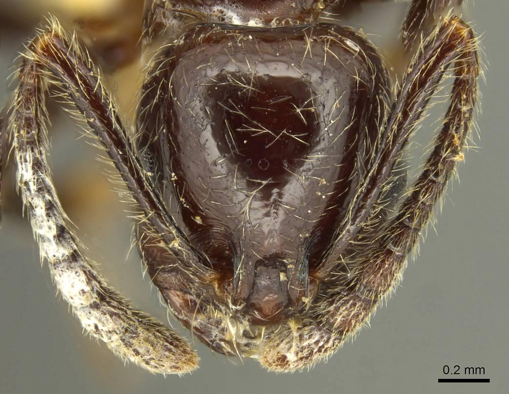 Image of Megalomyrmex weyrauchi