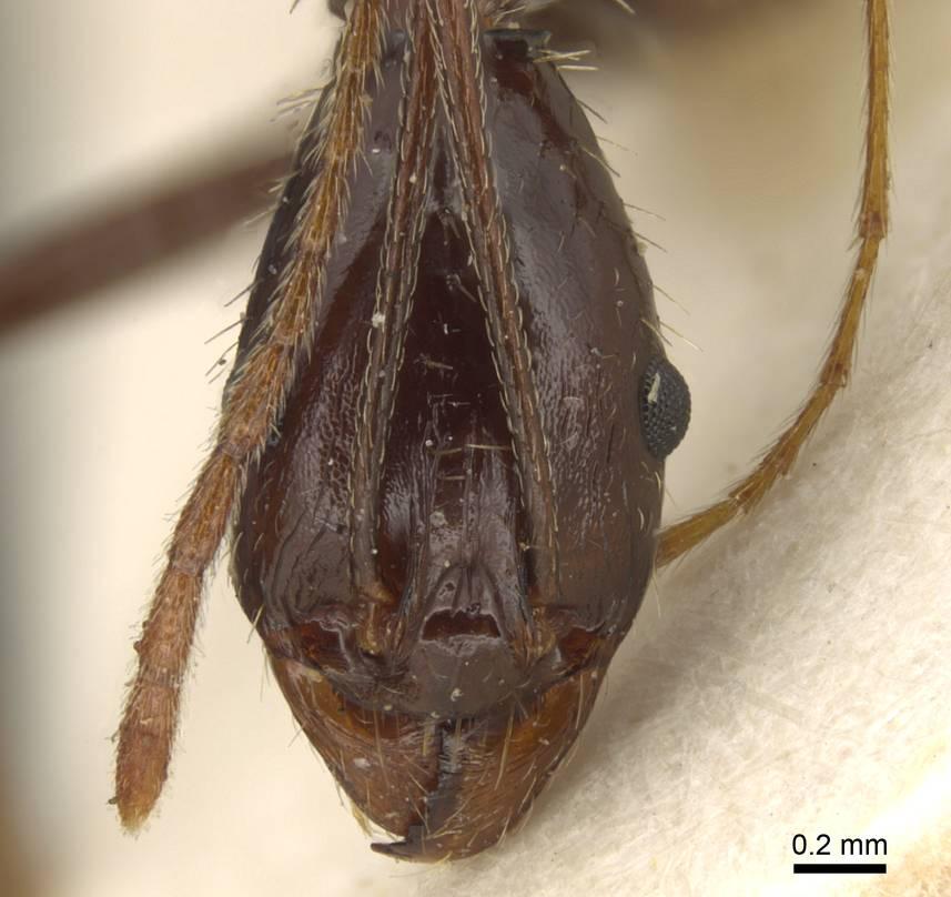 Image of Aphaenogaster rhaphidiiceps