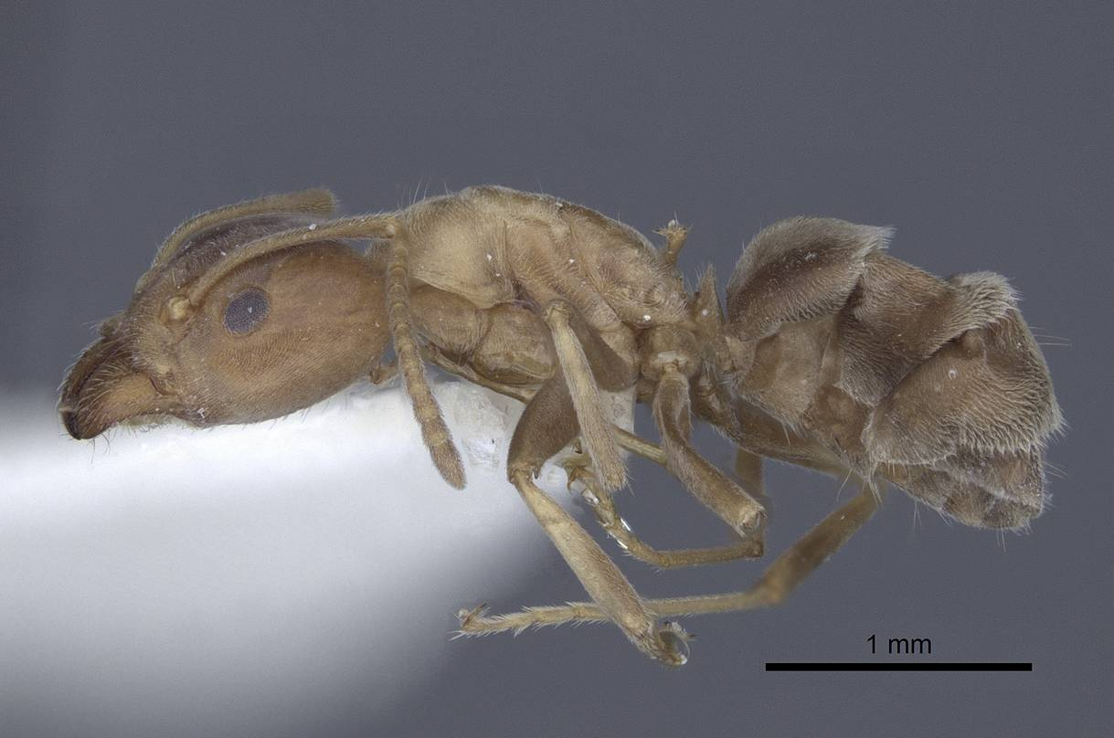 Image of Liometopum orientale