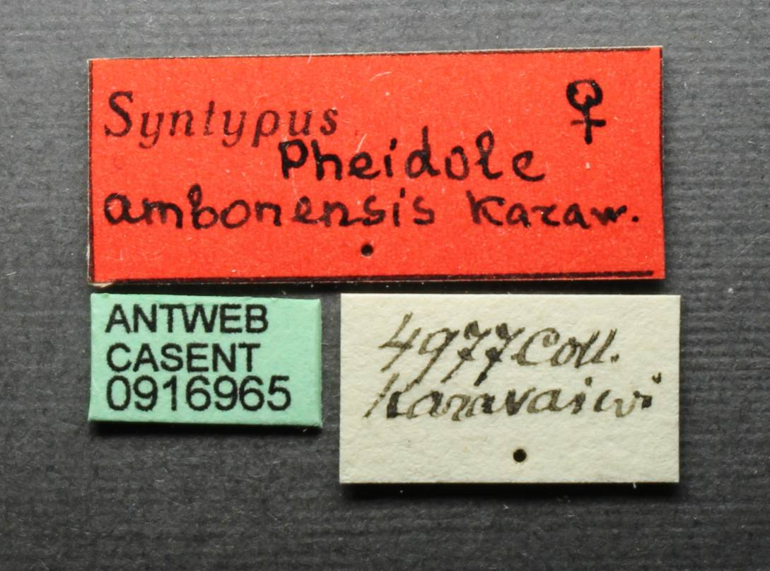 Image of Pheidole ambonensis
