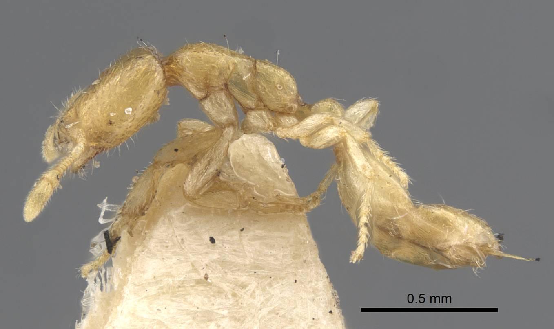 Image of Solenopsis jalalabadica