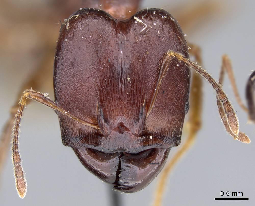 Image of Pheidole gibba
