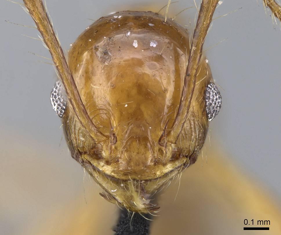 Image of Pheidole laevifrons