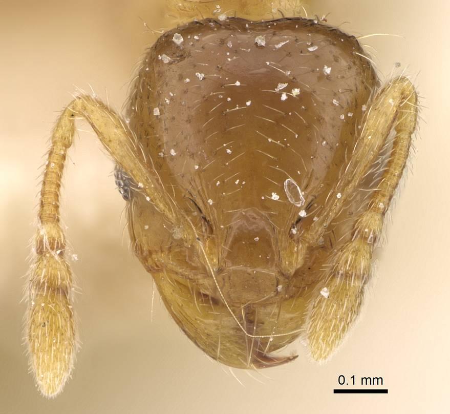 Image of Pheidole laticrista