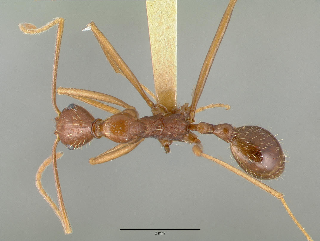 Image of Aphaenogaster mexicana