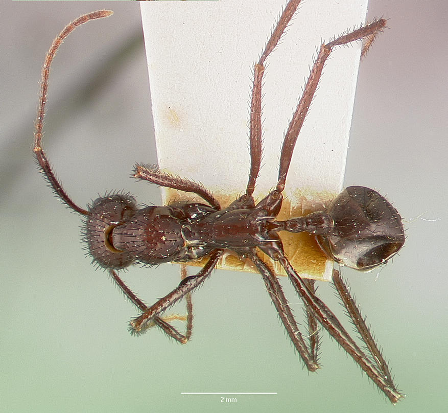 Image of Aphaenogaster lustrans