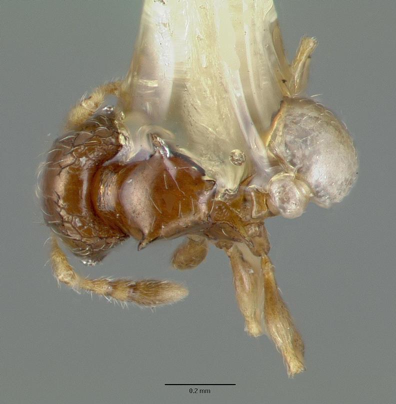 Image of Pheidole sexdentata