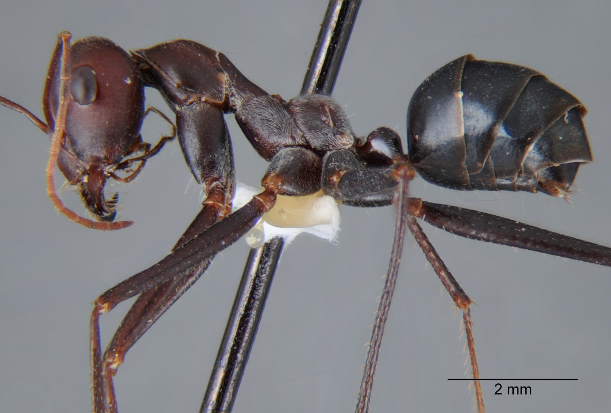a study of the ant odometer in cataglyphis fortis an ant specie Previous studies on the homing of the wolf spider lycosa tarantula have shown that it is carried out by path integration animals using this mechanism must measure the distance walked and the.