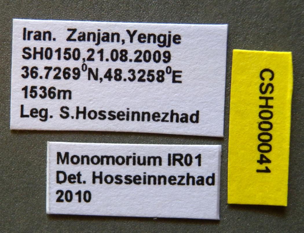 Image of Monomorium niloticum