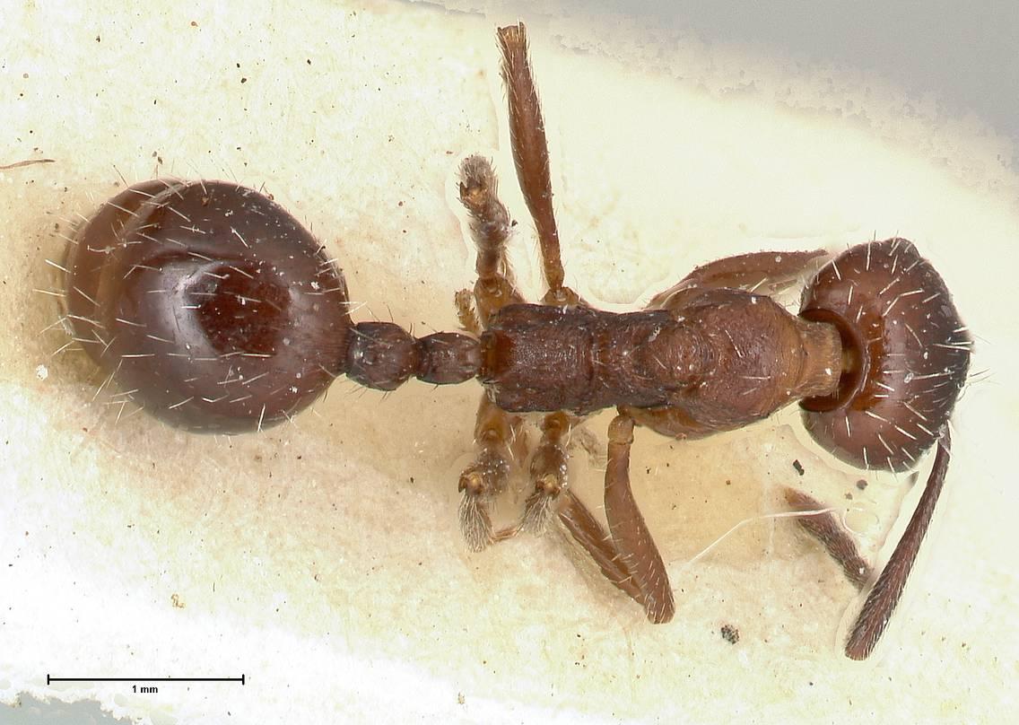 Aphaenogaster caeciliae image