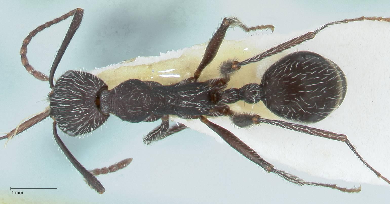 Aphaenogaster testaceopilosa image