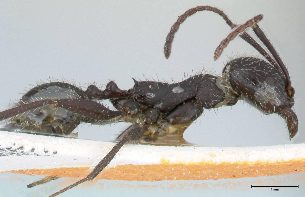 Aphaenogaster senilis image