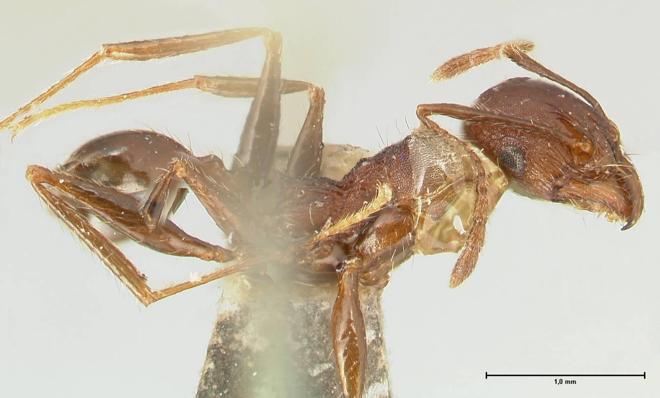 Image of Pheidole scabriuscula