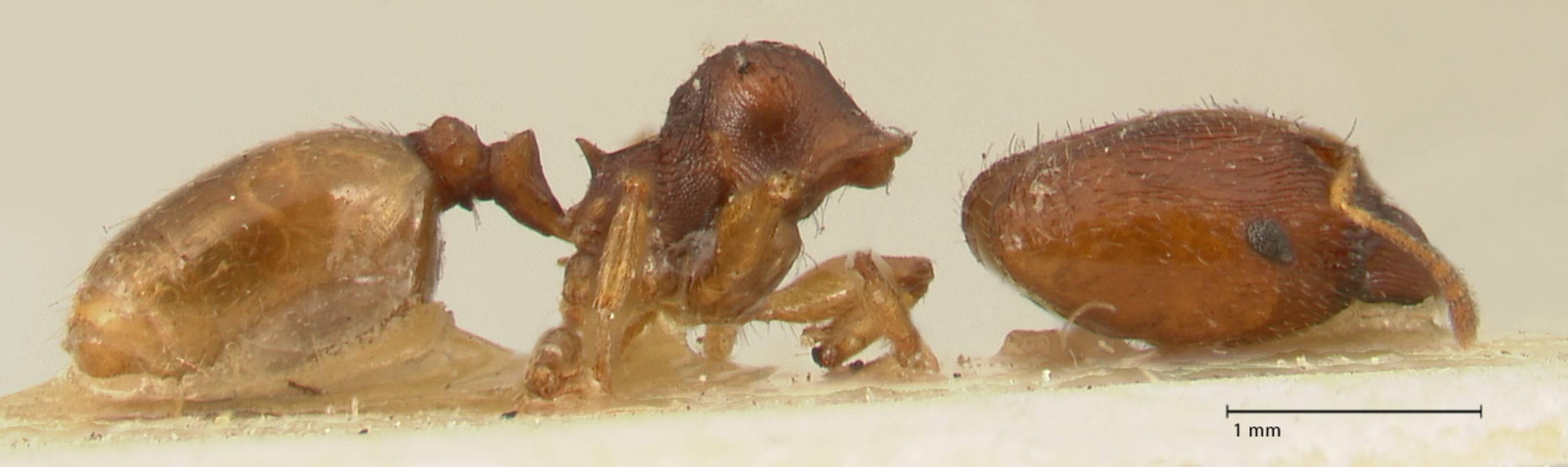 Image of Pheidole trapezoidea