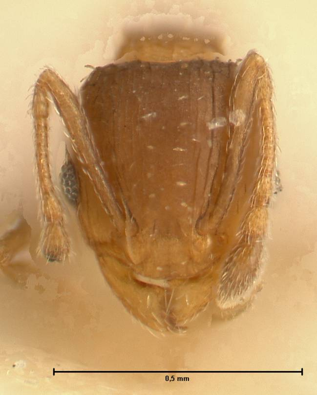 Image of Pheidole incurvata