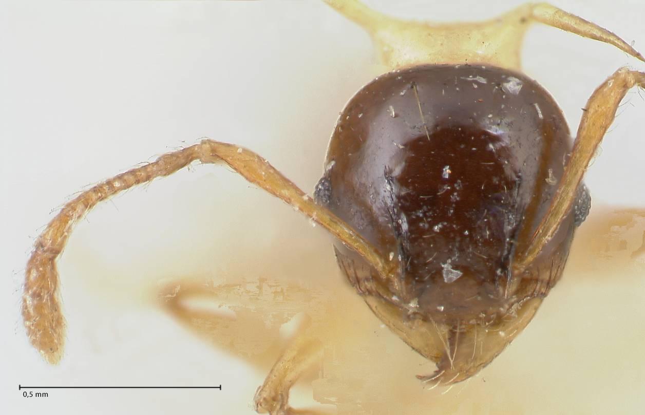 Image of Pheidole flavothoracica