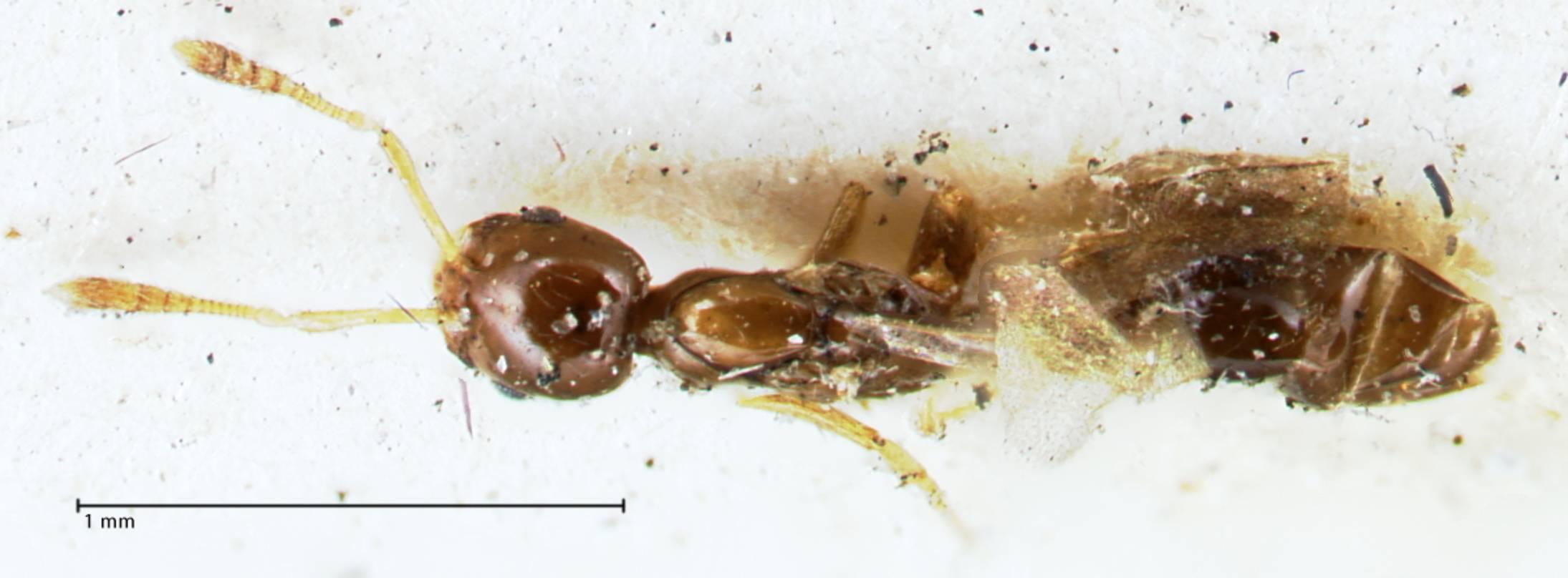 Image of Monomorium hospitum