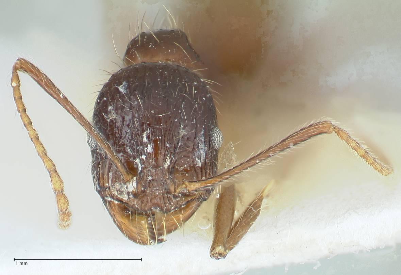 Image of Messor aphaenogasteroides
