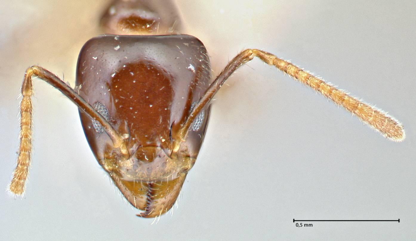Image of Anonychomyrma polita