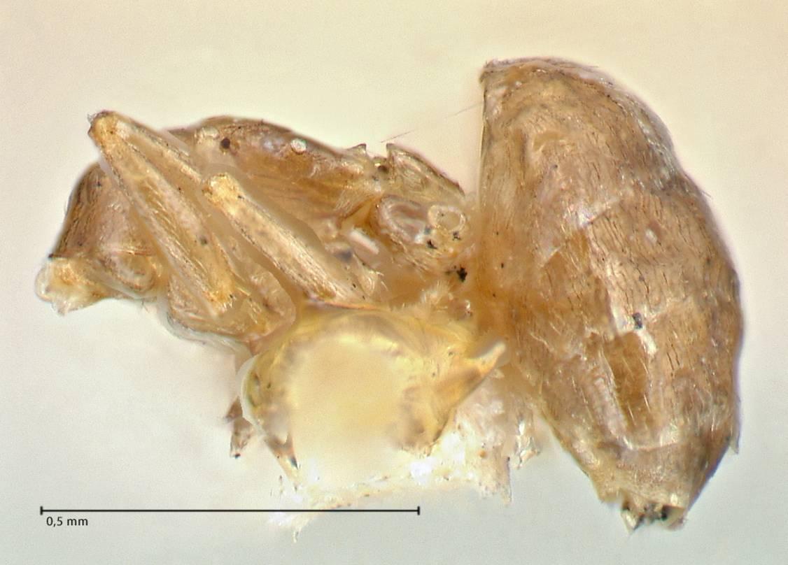 Image of Brachymyrmex flavidulus