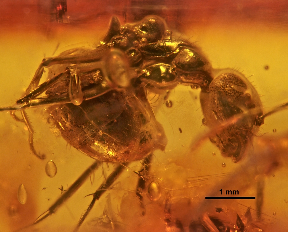 Image of Dolichoderus passalomma