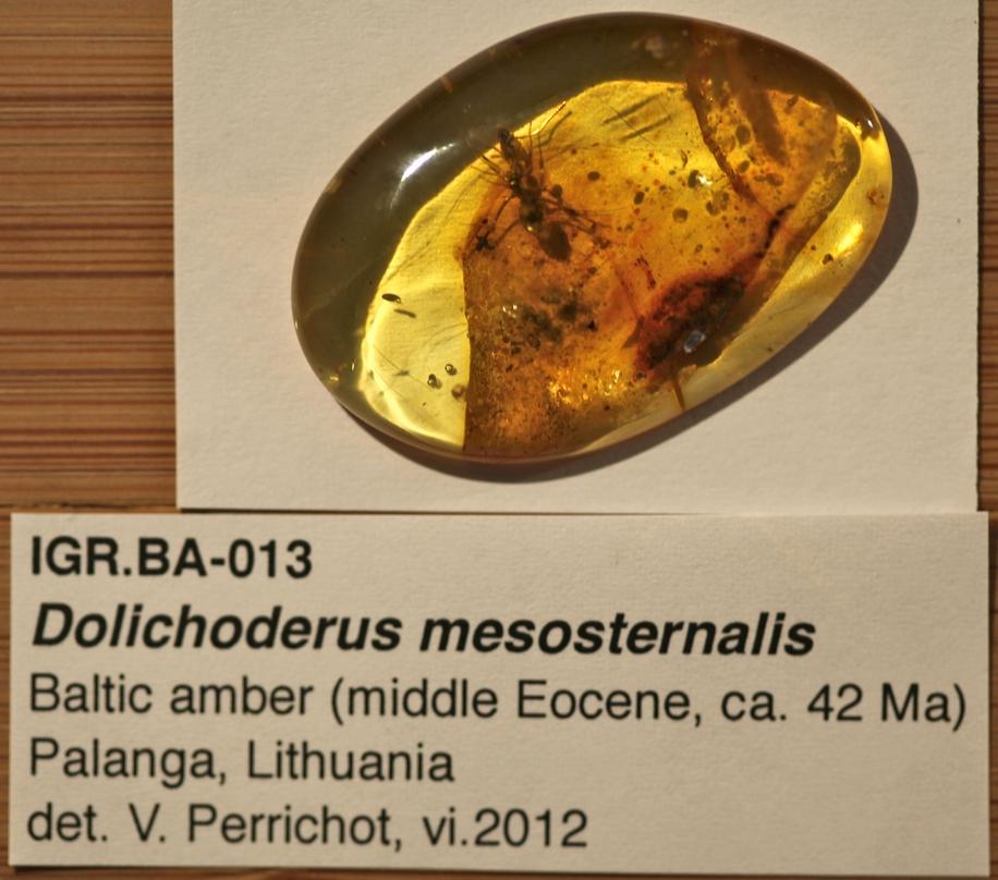 Image of Dolichoderus mesosternalis