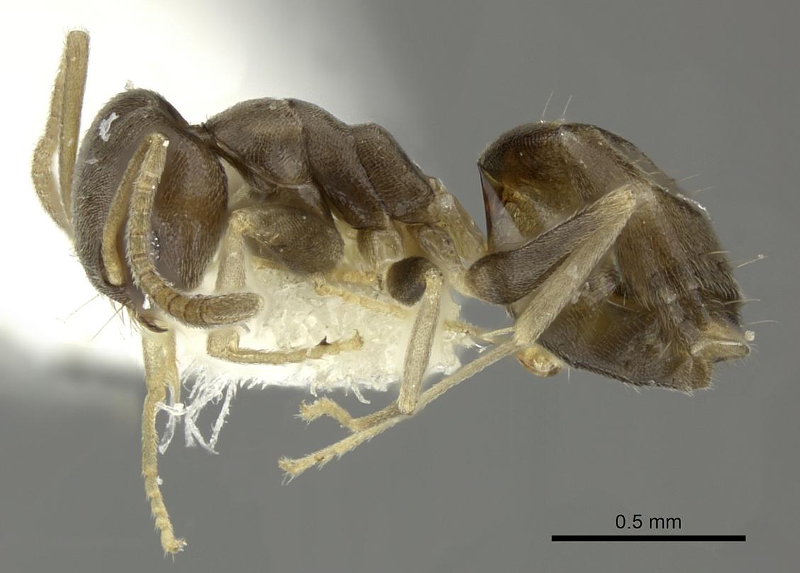 Image of Tapinoma ramulorum