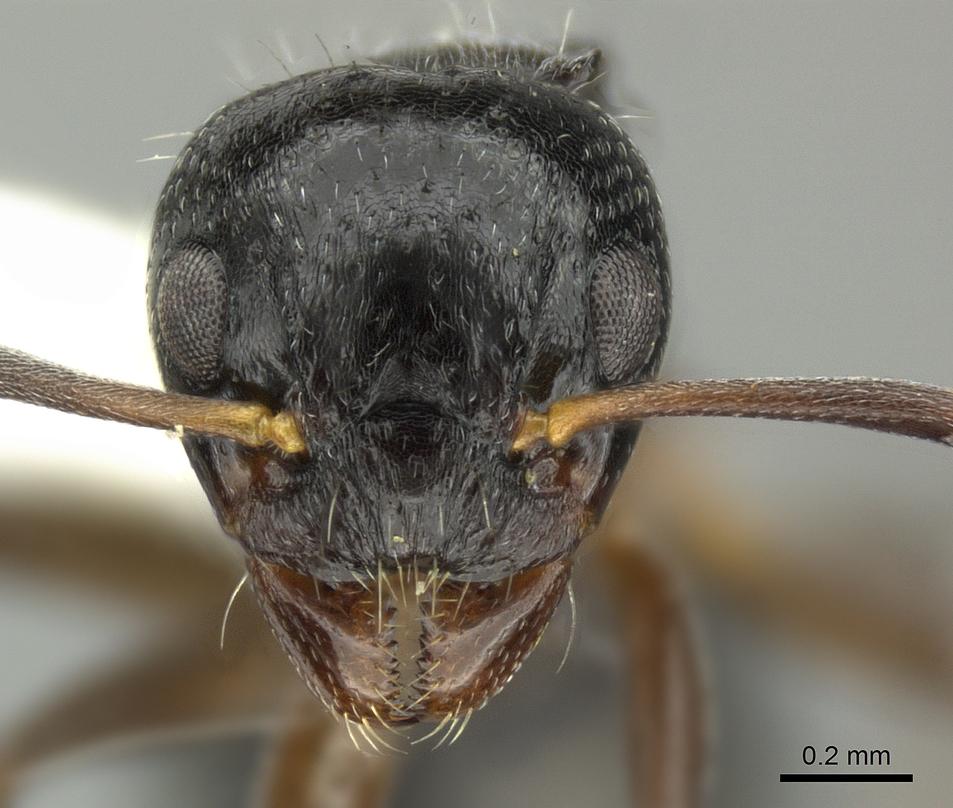 Image of Dolichoderus schulzi
