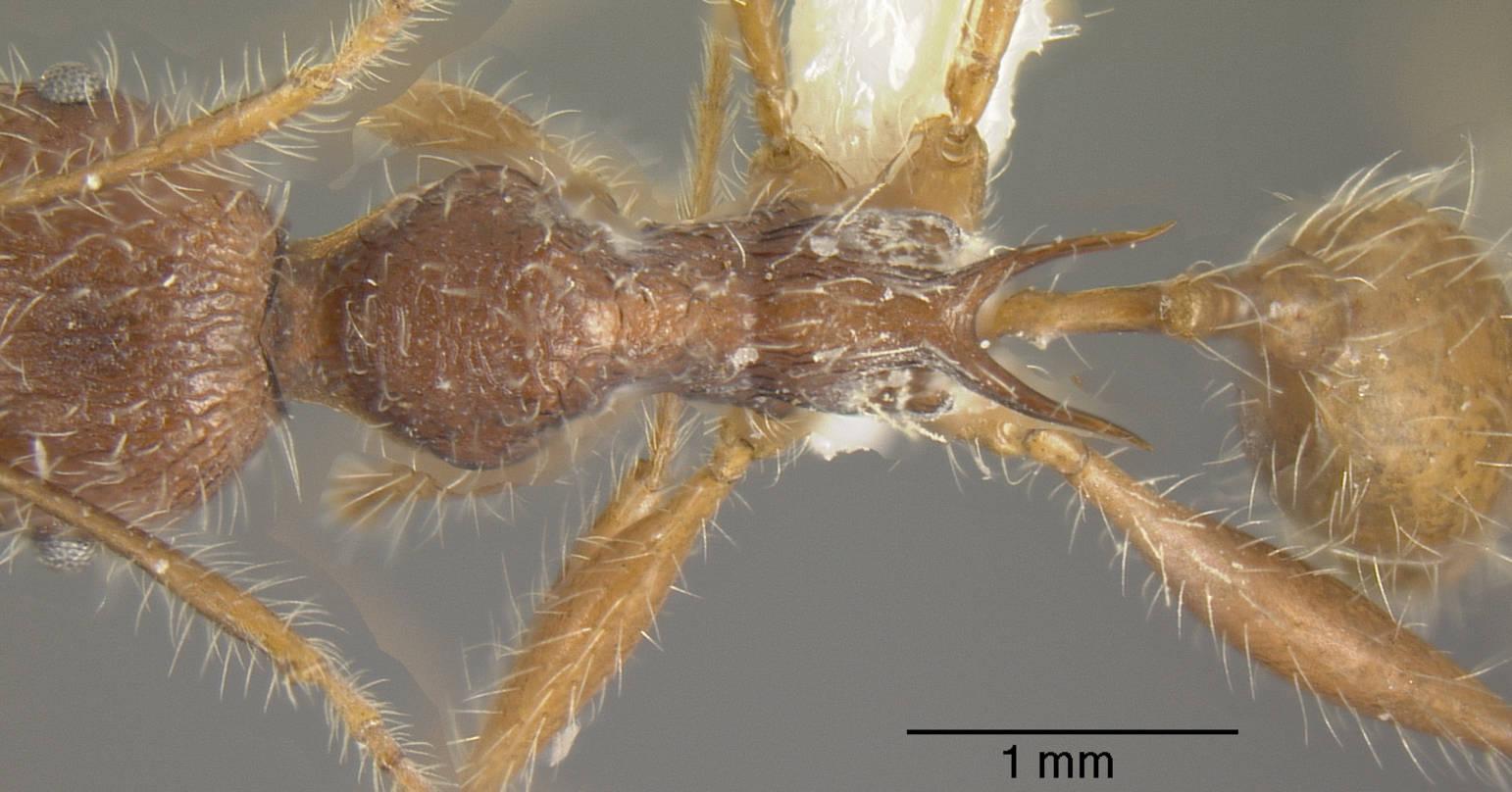 Image of Pheidole ursus