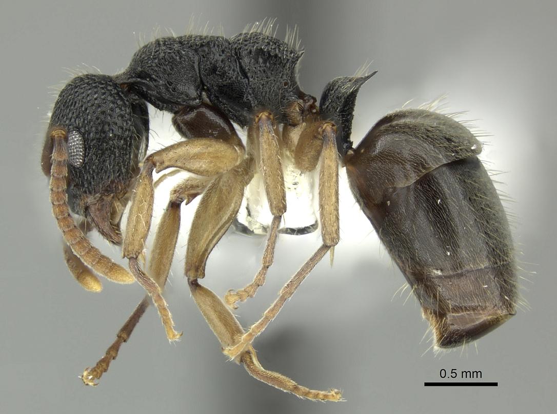 Image of Dolichoderus setosus