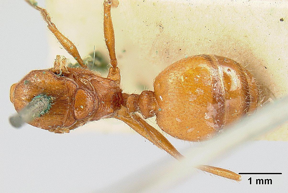Image of Pheidole castanea