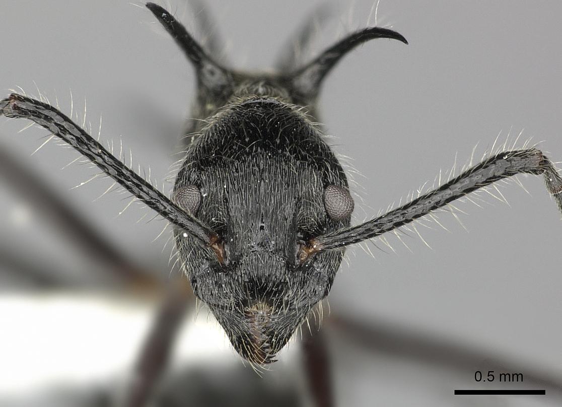 Image of Dolichoderus shattucki
