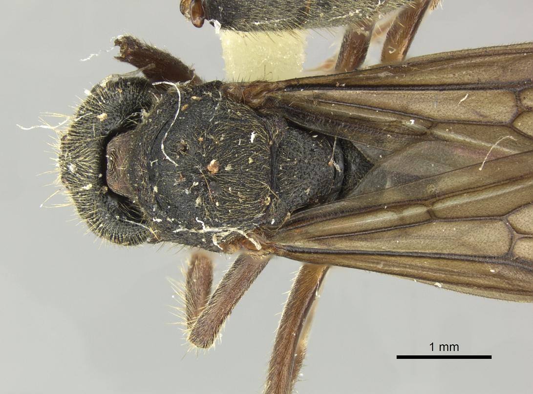 Image of Dolichoderus curvilobus