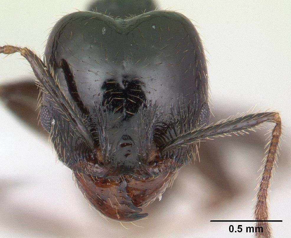 Image of Pheidole insipida