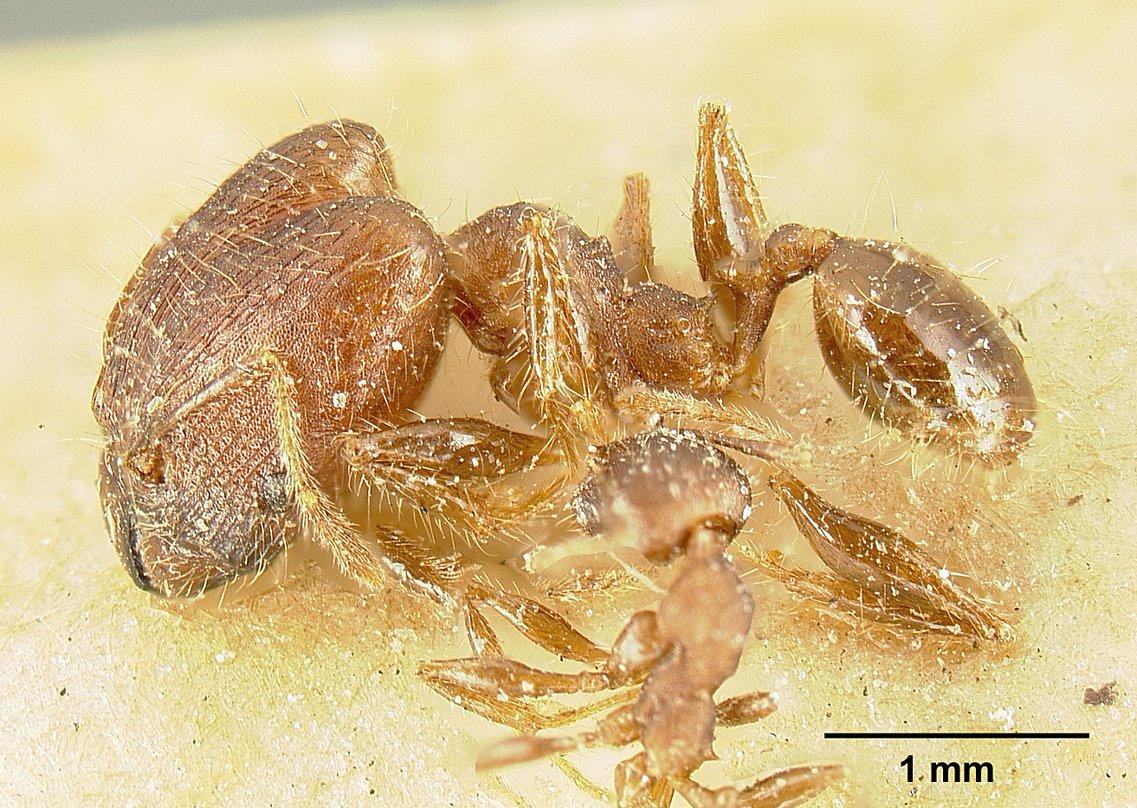 Image of Pheidole deceptrix